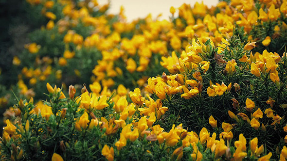 Gorse bush yellow flowers in strong wind by rockfordmedia videohive play preview video mightylinksfo Images