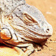 Iguana Or Lizard Head On Yellow Sand - VideoHive Item for Sale