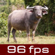 Buffalo Looking At Camera - VideoHive Item for Sale