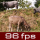 Buffalo In Field - VideoHive Item for Sale