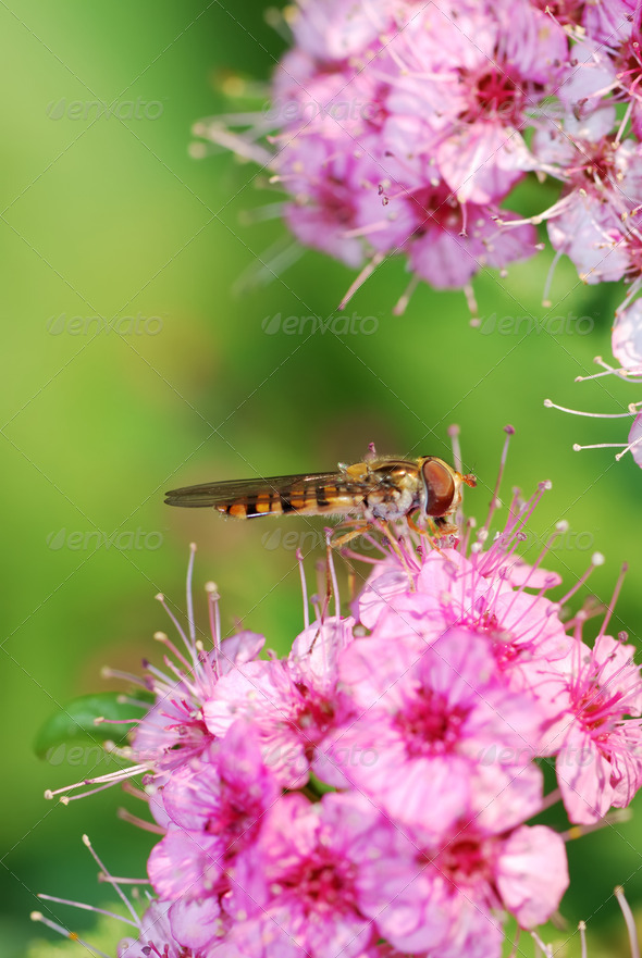 Hover fly - Stock Photo - Images