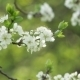 Blooming Tree In Spring With White Flowers - VideoHive Item for Sale