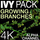 Ivy Growing Branches Pack  - VideoHive Item for Sale