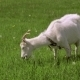 White Goats Feeding On The Farm - VideoHive Item for Sale