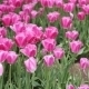 Pink, Yellow, Red Tulips In The Gardens Of The - VideoHive Item for Sale