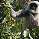 Presbytis Monkey Eating Fruits On Tree - VideoHive Item for Sale