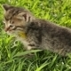 Little Tabby Kittens  On Green Grass - VideoHive Item for Sale
