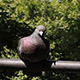 Pigeon On A Bar - VideoHive Item for Sale
