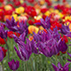 Tulips as Background - VideoHive Item for Sale