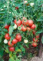 Plentiful fructification of tomatoes - PhotoDune Item for Sale