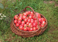 Basket filled with tomatoes - PhotoDune Item for Sale