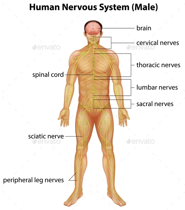Human Nervous System - People Characters