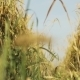 Wheat Spike - VideoHive Item for Sale