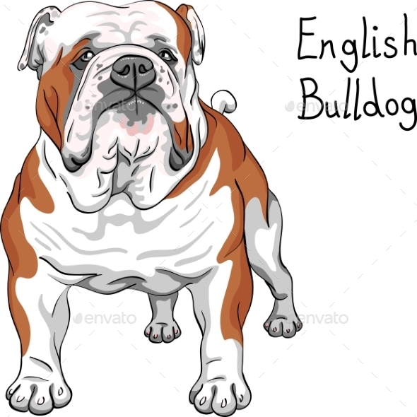 English Bulldog Breed - Animals Characters