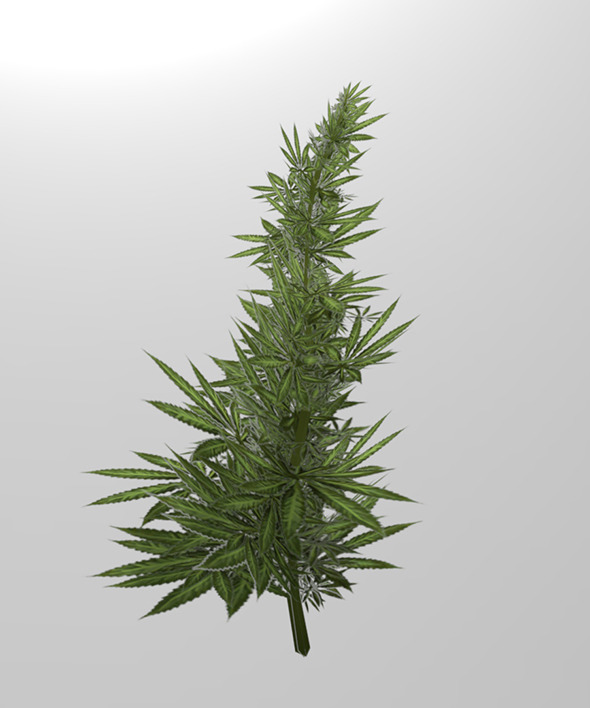 Cannabis - 3DOcean Item for Sale