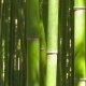 Bamboo Stalks - VideoHive Item for Sale