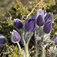 Bush of Flowers Pasqueflower - VideoHive Item for Sale