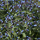 Blue Wildflowers in Spring Time - VideoHive Item for Sale