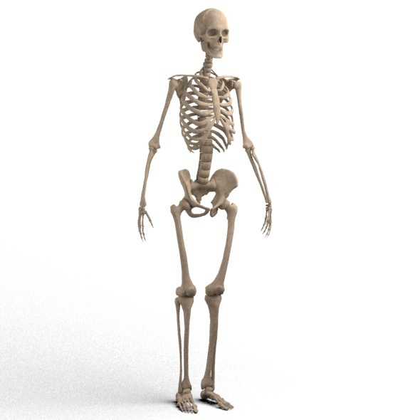 realistic skeleton - 3DOcean Item for Sale