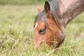 pony grazing - PhotoDune Item for Sale