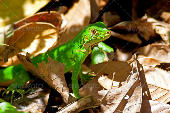 Juvenile Green Iguana - Stock Photo - Images