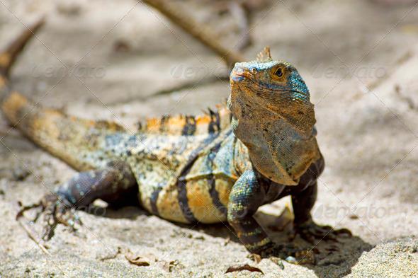 Black spiny-tailed Iguana - Stock Photo - Images