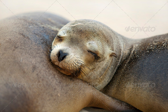 Young Sea Lion - Stock Photo - Images