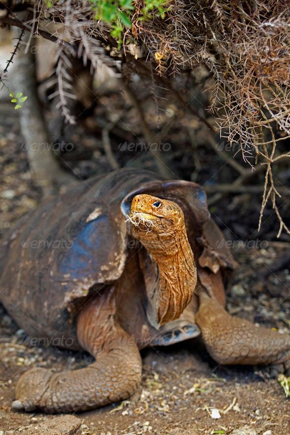 Galapagos tortoise - Stock Photo - Images