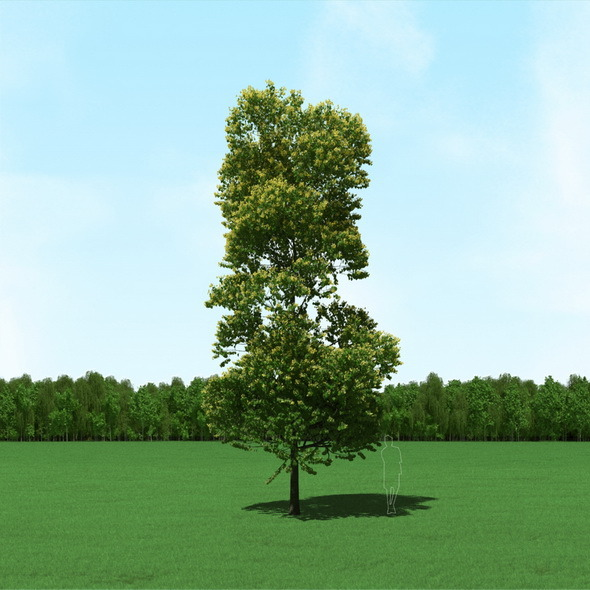 Blooming Tilia (Linden) Tree 3d Model. - 3DOcean Item for Sale