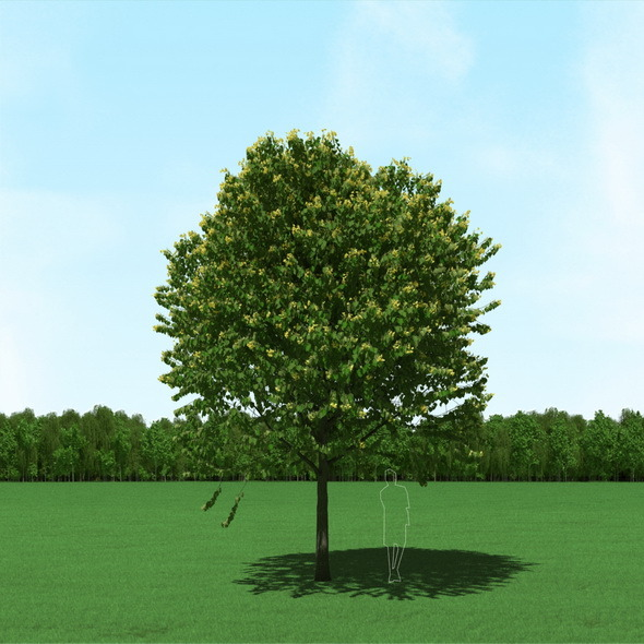 Blooming Tilia (Linden) Tree 3d Model - 3DOcean Item for Sale