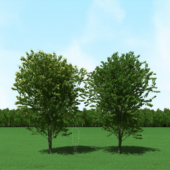 Blooming Tilia (Linden) Trees 3d Models - 3DOcean Item for Sale