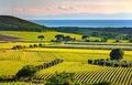Bolgheri and Castagneto vineyard and Elba island. Maremma Tuscan