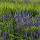 Blue Lupin Flowers in the Meadow - VideoHive Item for Sale