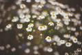 Daisies - PhotoDune Item for Sale