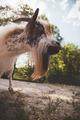Little Goat - PhotoDune Item for Sale