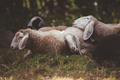 Sheeps Sleeping - PhotoDune Item for Sale
