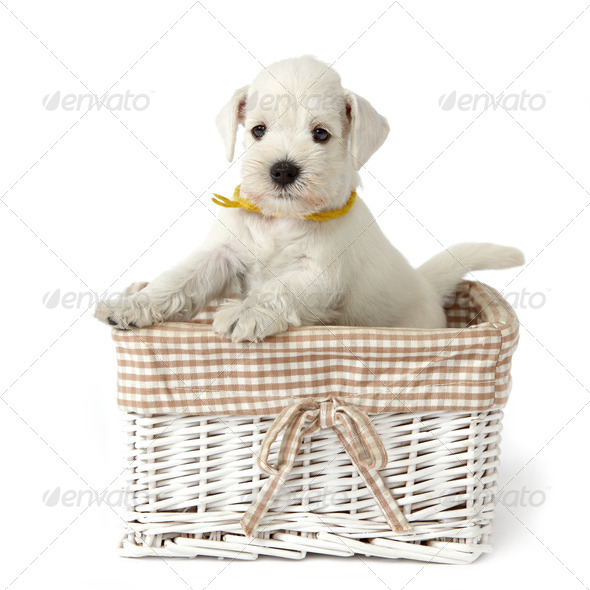 white schnauzer puppy - Stock Photo - Images