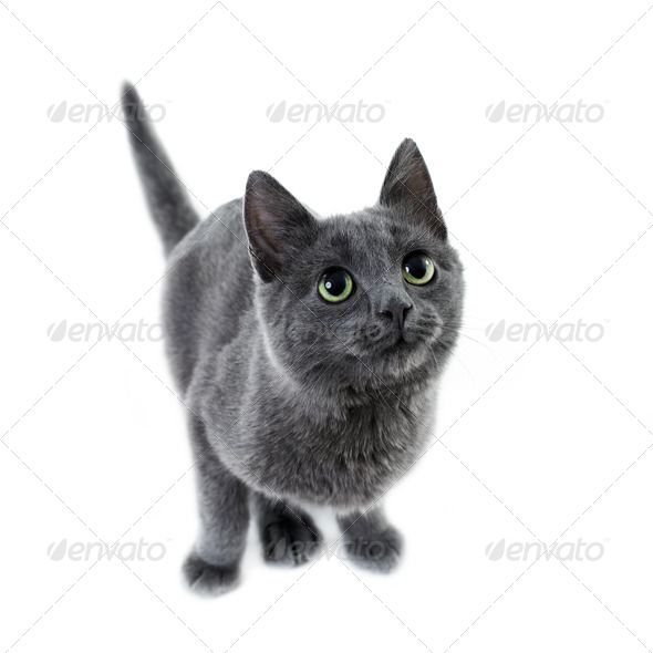 russian blue kitten - Stock Photo - Images