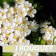 White Blossom on Hawthorn Tree - VideoHive Item for Sale