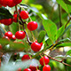 Cherry Fruit on a Tree in the Home Garden - VideoHive Item for Sale