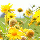 A Senecio Field on a Sunny Day - VideoHive Item for Sale