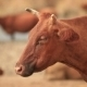 Chewing Brown Cow - VideoHive Item for Sale