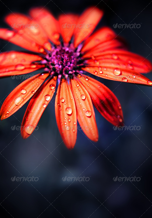 Red wet flower head - Stock Photo - Images