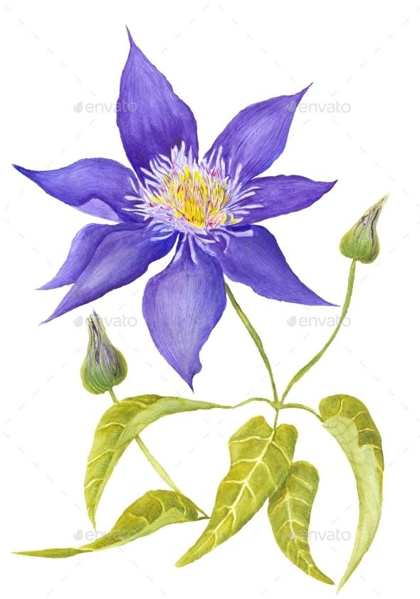 Clematis Botanical Illustration - Flourishes / Swirls Decorative