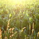 Sunrise Over Corn Fields - VideoHive Item for Sale