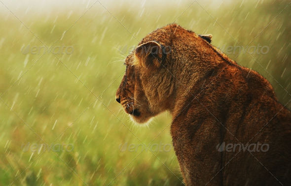 Lioness under rain in the wild - Stock Photo - Images