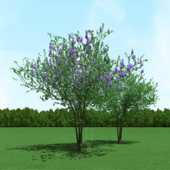 Blooming Syringa (Lilac) Trees 3d Models - 3DOcean Item for Sale