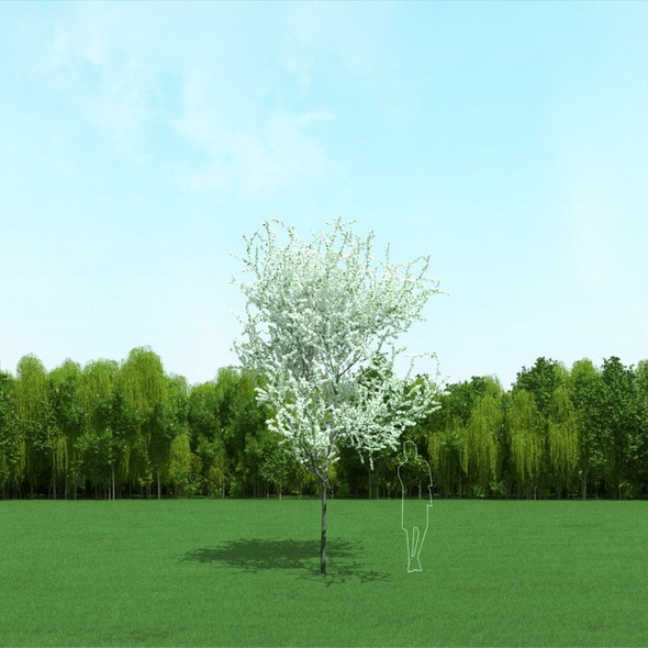 Blooming Cherry Tree 3d Model - 3DOcean Item for Sale