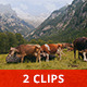 Cows in a Valley - VideoHive Item for Sale