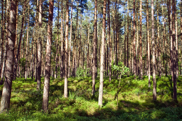 Sunny pine forest - Stock Photo - Images